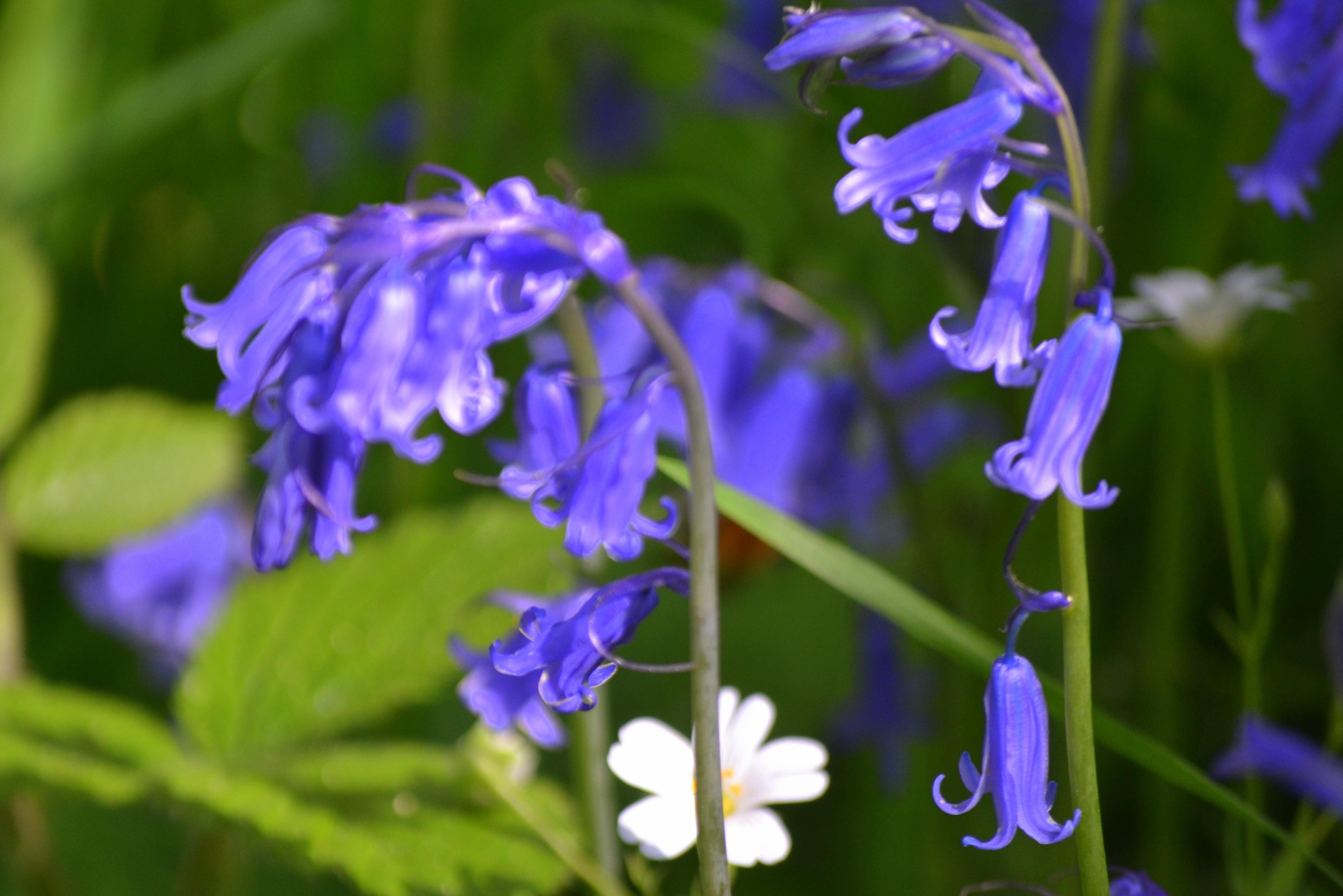 Fleur De Sous Bois Bleue des tâches de bleu - monica-breiz et la mer