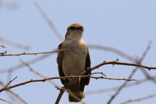 Gobemouche pâle (Pale Flycatcher)