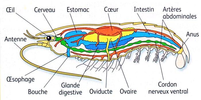 Dissection d'une crevette