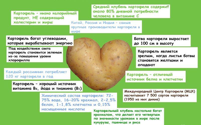 Действенный народный способ лечения геморроя картофелем
