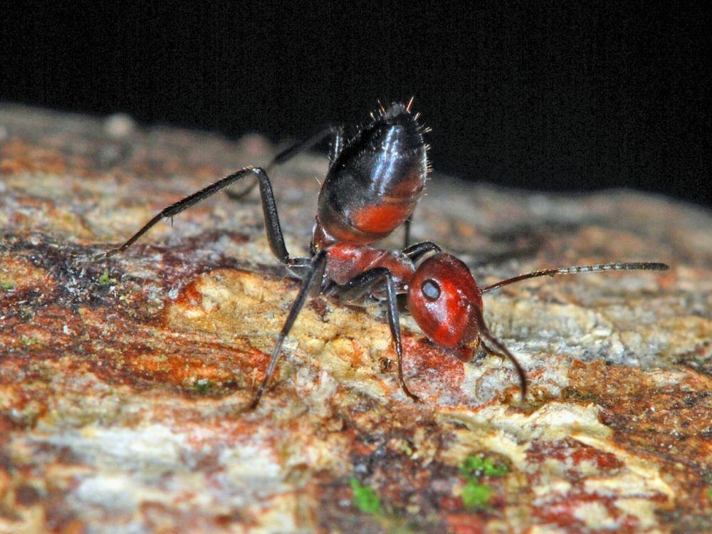 La fourmi C. explodens