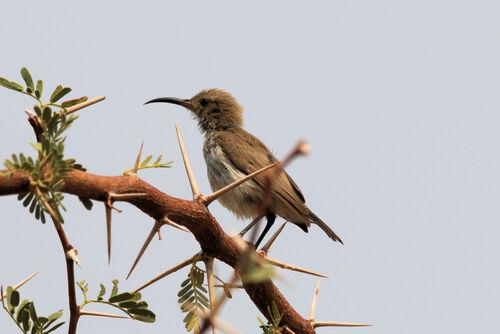 Souimanga à poitrine rouge (Scarlet-chested Sunbird)
