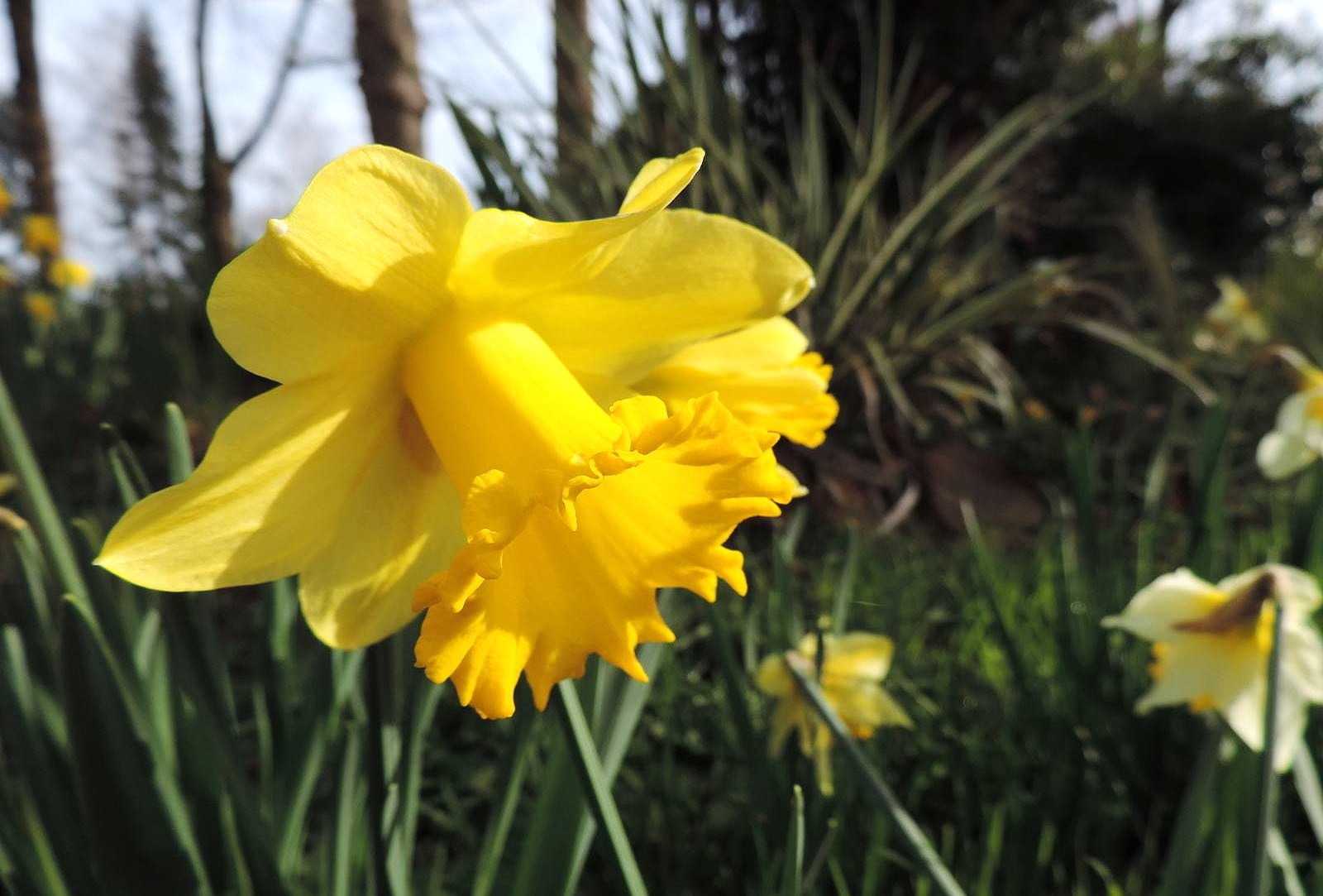 Golden Daffodils...