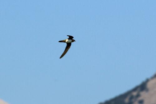 Martinet à ventre blanc (Alpine Swift)
