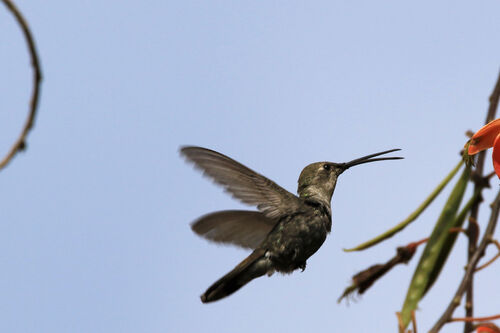 Colibri vesper (Oasis Hummingbird)