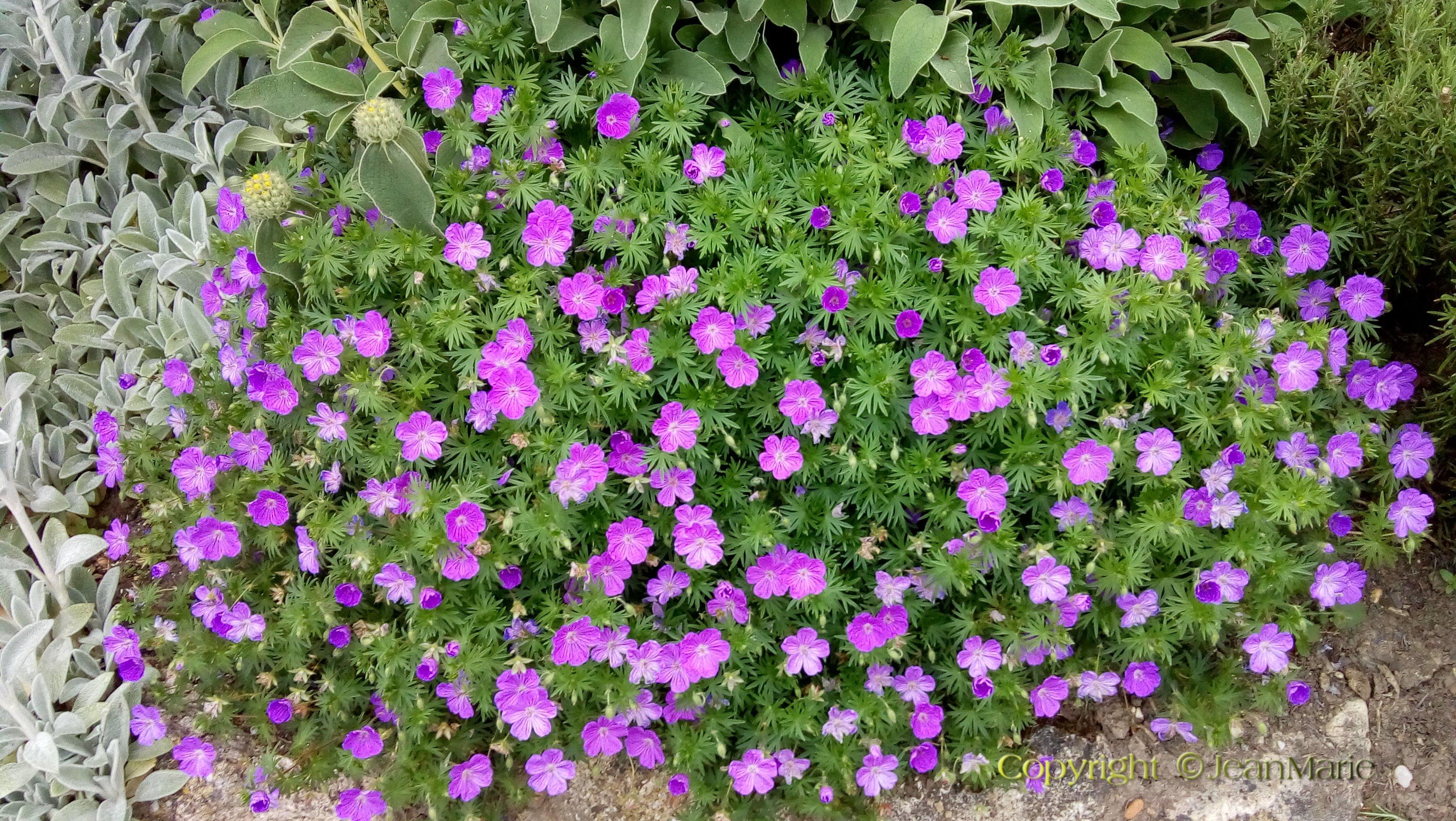 Plante Couvre Sol Soleil géranium vivace sanguineum, - le jardin de jean marie