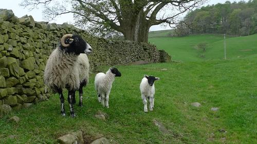 Au pays des moutons