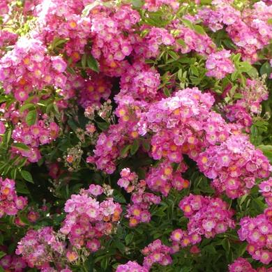 Des Journées de la Rose aux journées de mes roses : Maria-Lisa et Isabelle du Portugal...