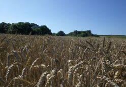 La moisson du blé (Août 2013)