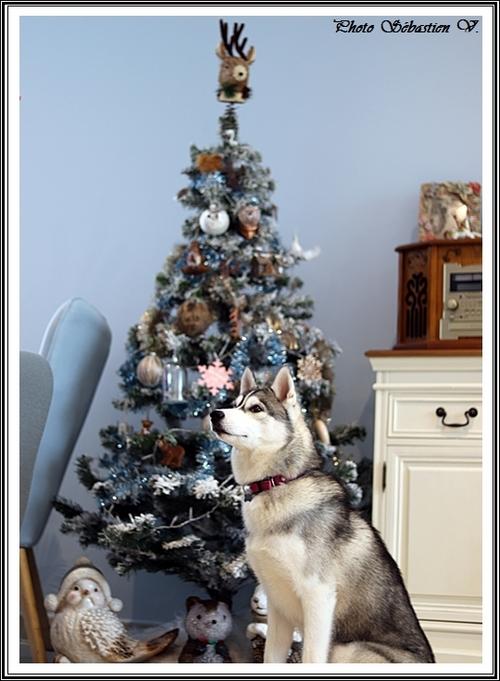 Huskys de Noël (6 décembre 2019)