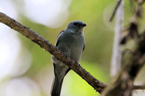 Tangara évêque (Blue-grey Tanager)
