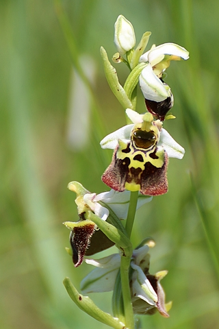 Ophrys bourdon - Ophrys fuciflora