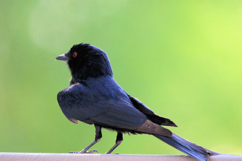 Drongo brillant (Fork-tailed Drongo)